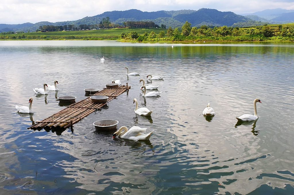 The lake with swans at Singha Park, Chiang Rai