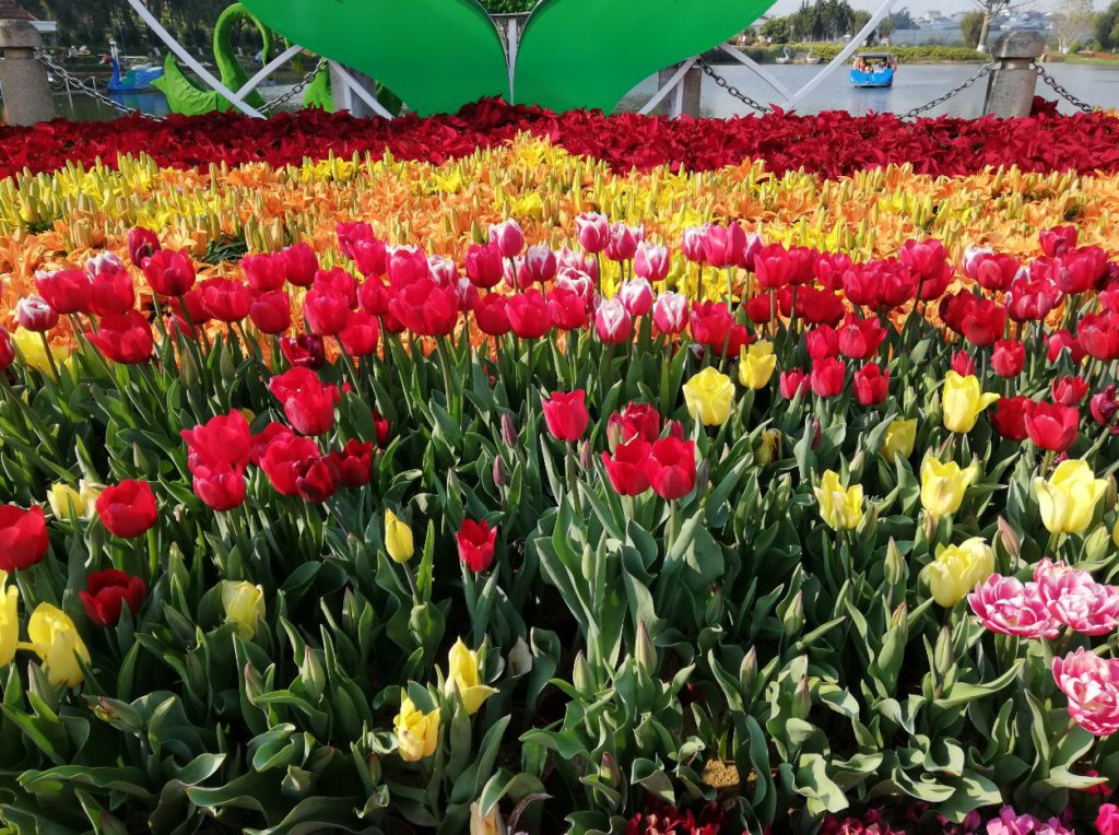 Blooming Tulips during the season in Da Lat Flower Garden