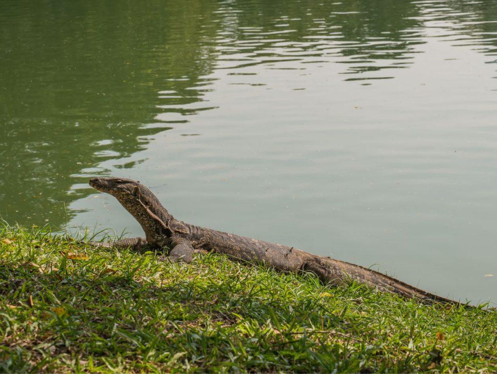 Monitor Lizard in Lumphini Park