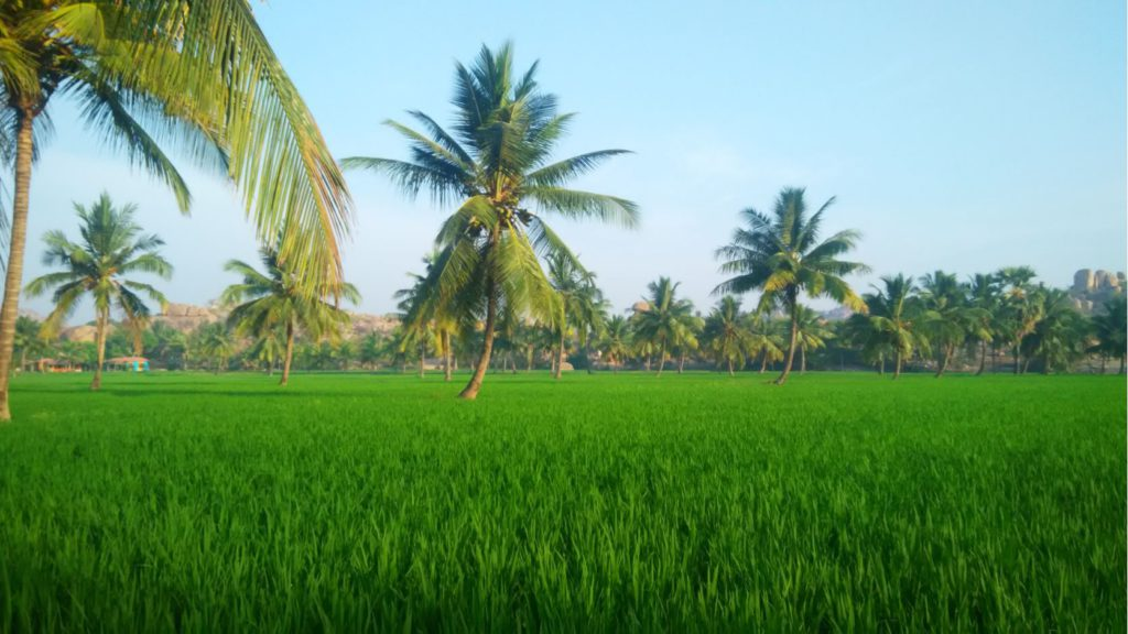 View of Paddy fields in Hampi