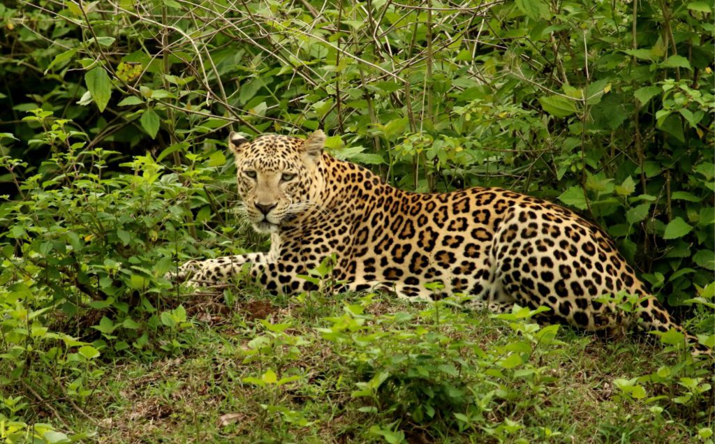 A leopard spotted in Bandipur National Park