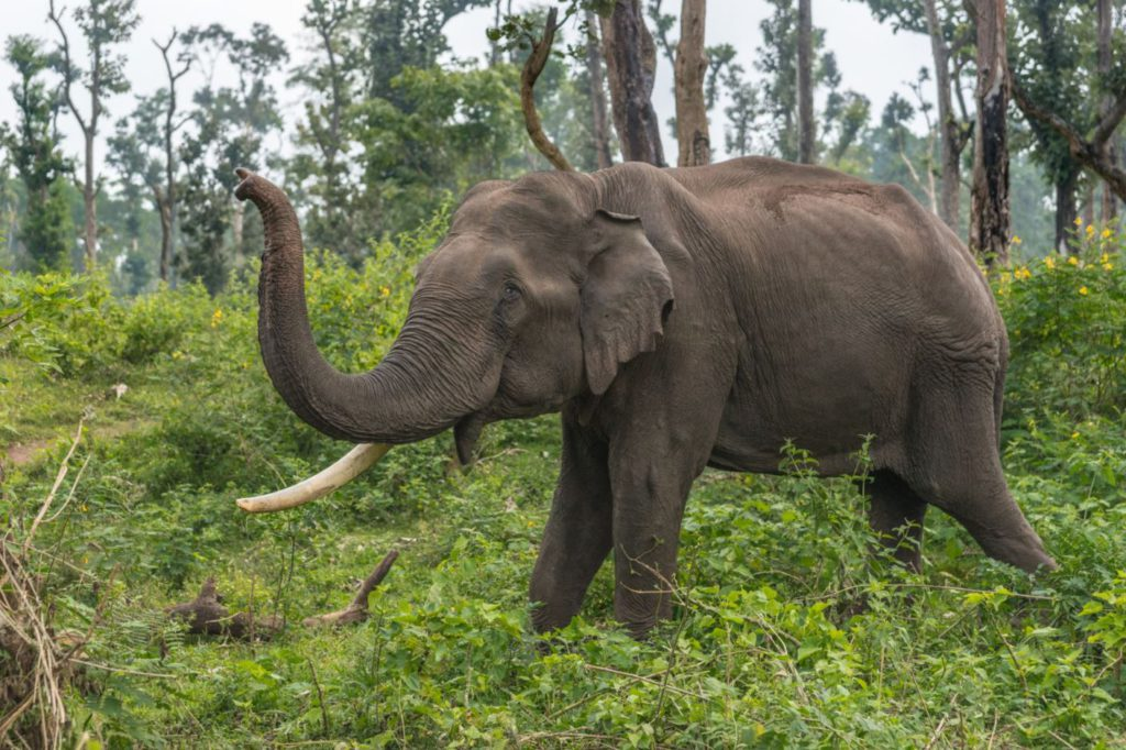 An Elephant at Dubare Camp