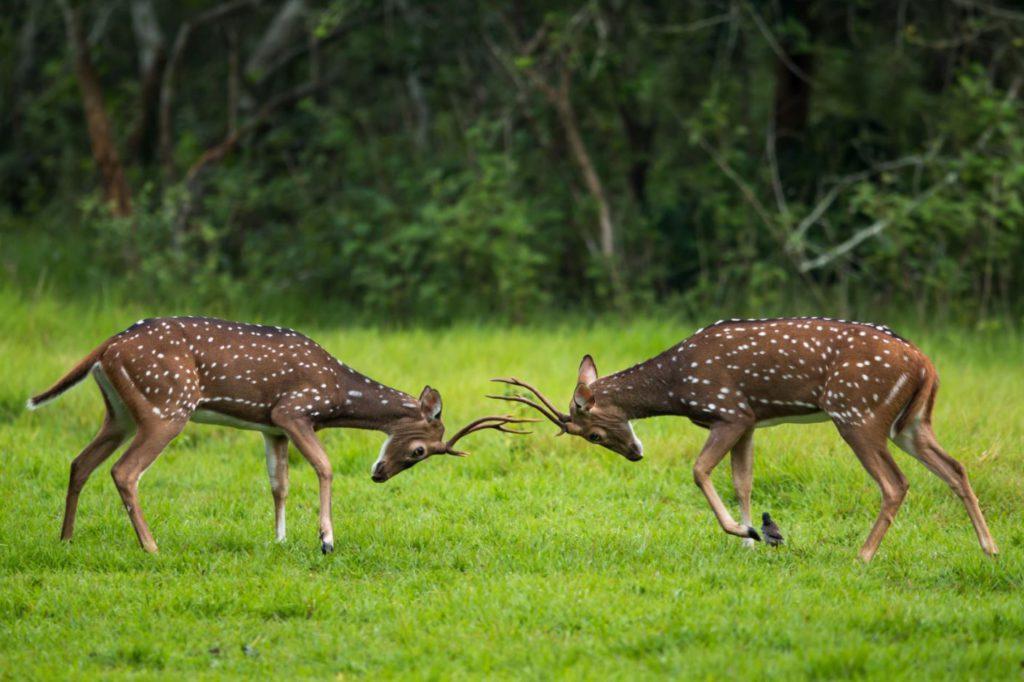 Deers spotted sparring in Nagarhole
