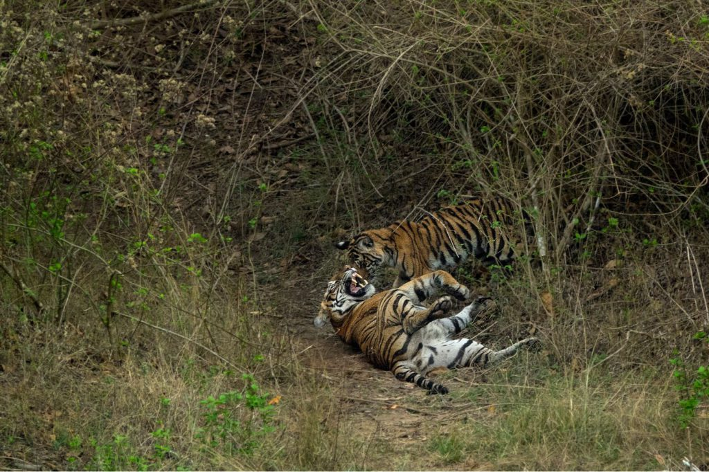 A mother and a cub playing at Bandipur National Park