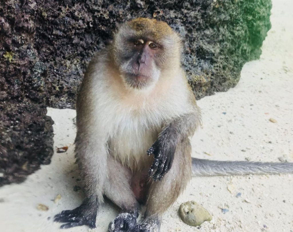 A monkey from the monkey island in koh phi phi