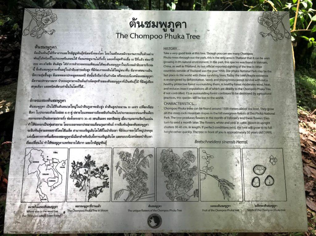 About the Chomphoo Phukha Tree