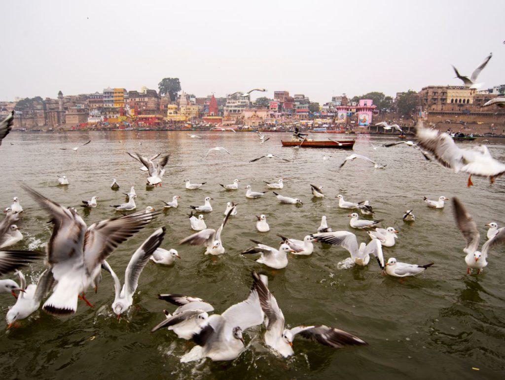 Seagulls in winters in Varanasi