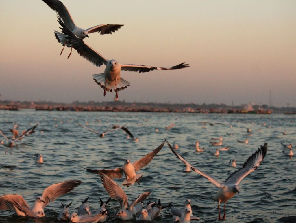 Migratory birds on Ganga river during winter